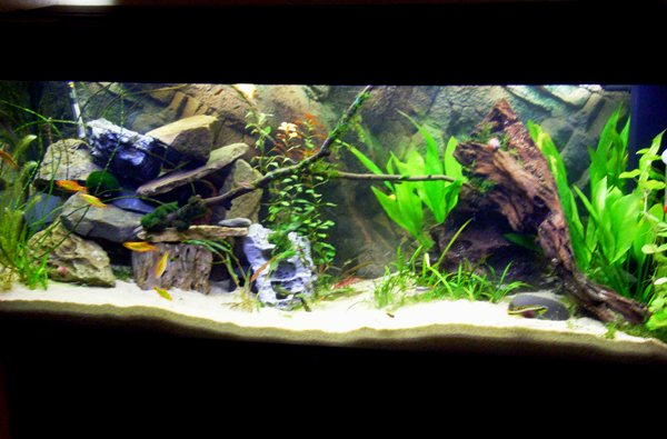 k nigscichlide pelvicachromis pulcher weibchen jagt m nnchen seite 4 aquarium forum. Black Bedroom Furniture Sets. Home Design Ideas